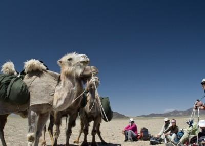 gobi_camel_face