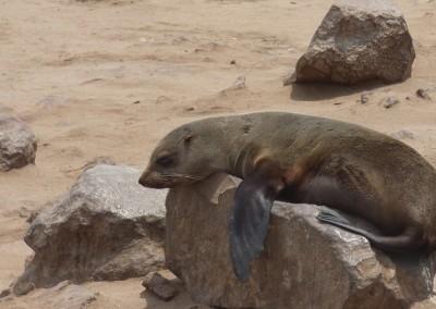 namibia_seal